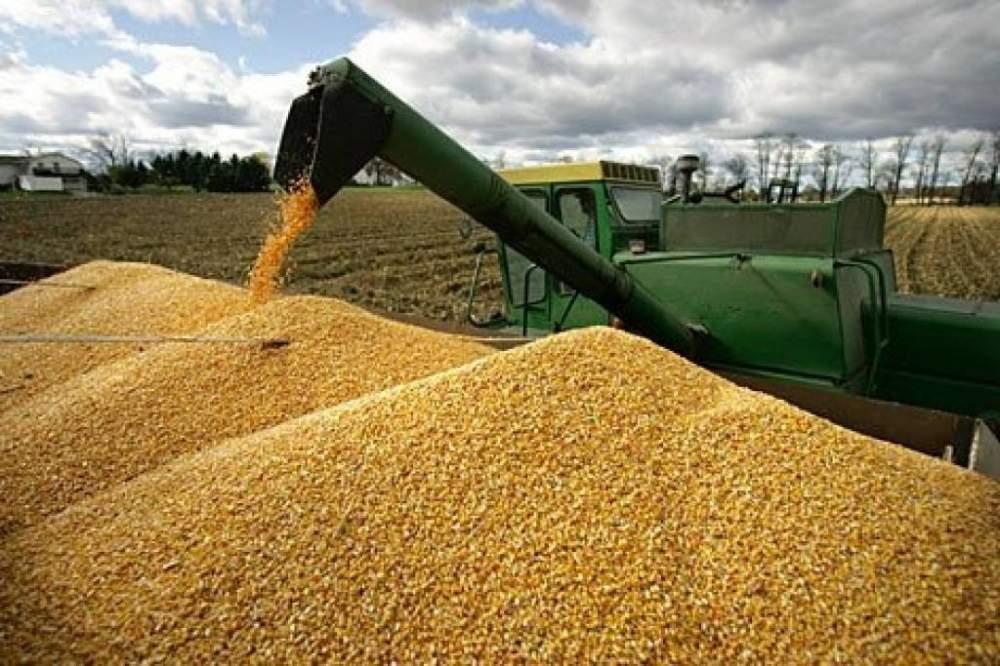 Пшеница твердая