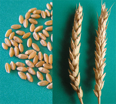 Пшеница мягкая 3 класса