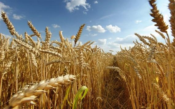 Трэйдеры пшеницы в Казахстане
