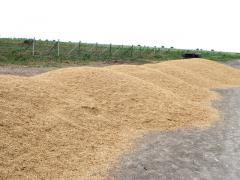 Казахстанская пшеница