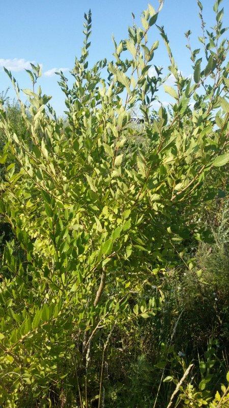 Купить Саженцы плодовых и декоративных деревьев и кустарников