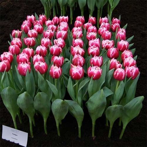 Тюльпан Angola фиалетовый