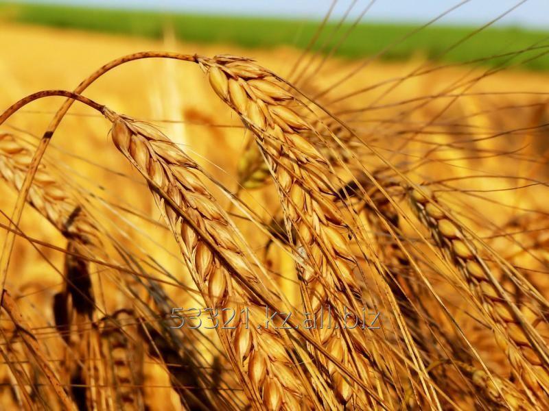 Купить Пшеница 4 класс мягких сортов