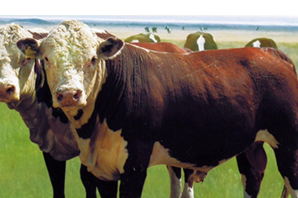 Купить Племенные бычки и телки казахской белоголовой породы