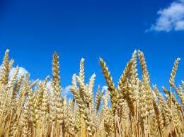 Купить Пшеница яровая