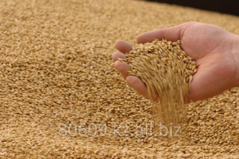 Купить Пшеница мягких сортов