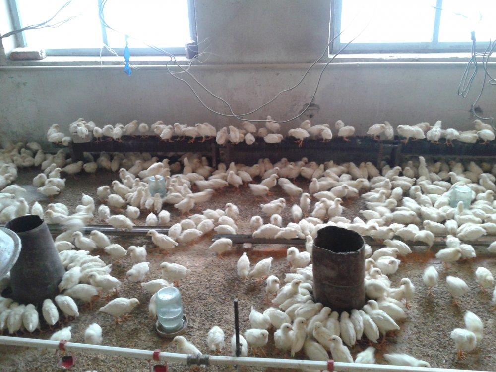 Цыплята суточные и подрощенные кросса хайсекс