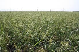 Купить Травы кормовые