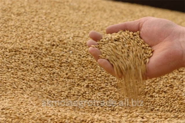 Soft wheat of the superior grade in large volumes
