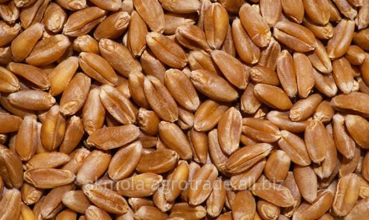 Пшеница твердая разных сортов на экспорт