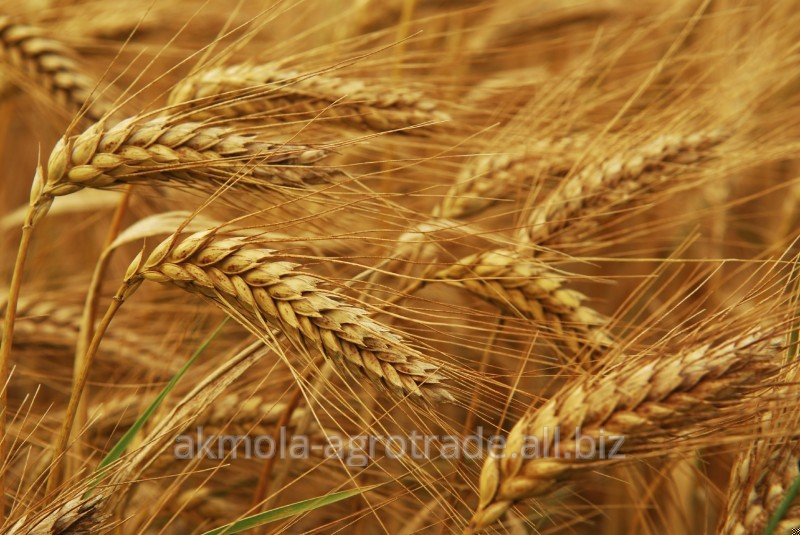Buy Wheat 3 quality classes of Akmola Agro Trade LLP