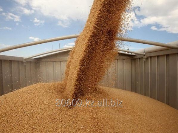 Купить Пшеница фуражная 4 класс