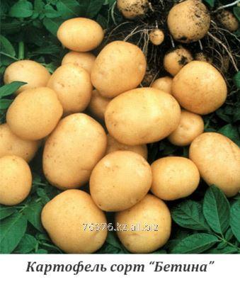 """Buy Potatoes landing, sredneranny, grade of """"Betin"""