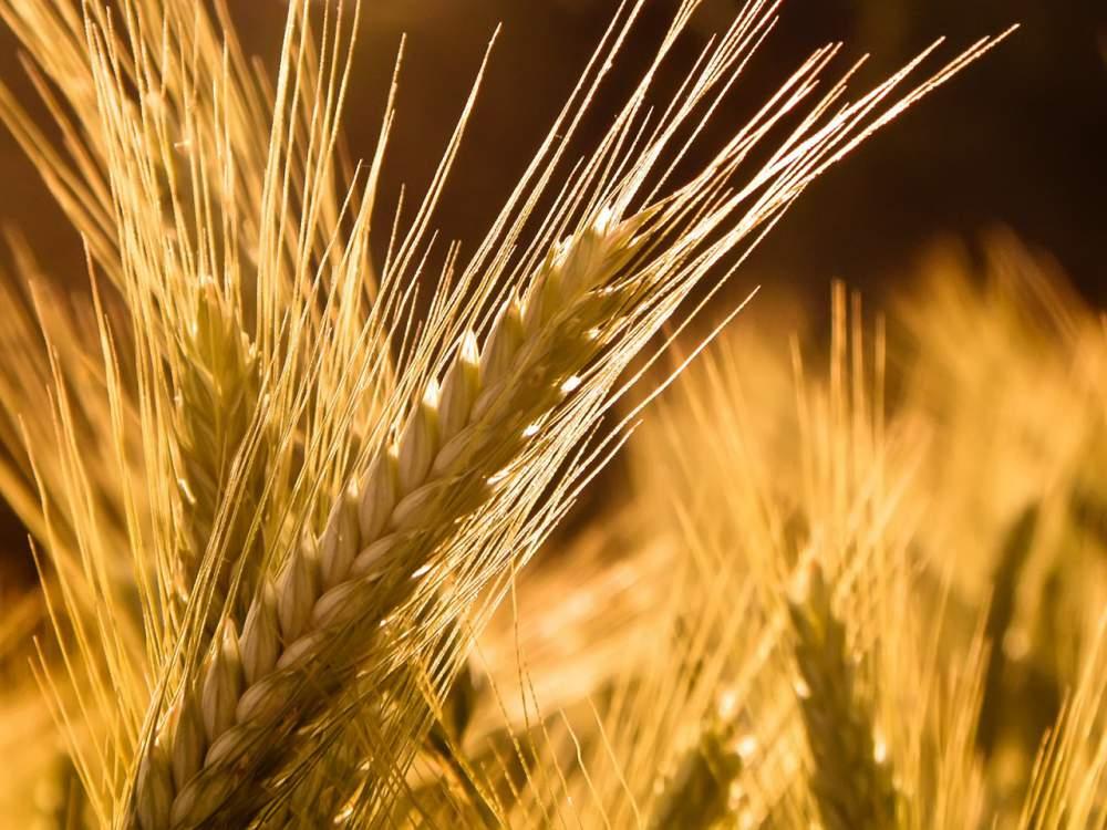 Купить Семена зерновых культур, Семена зерновых культур