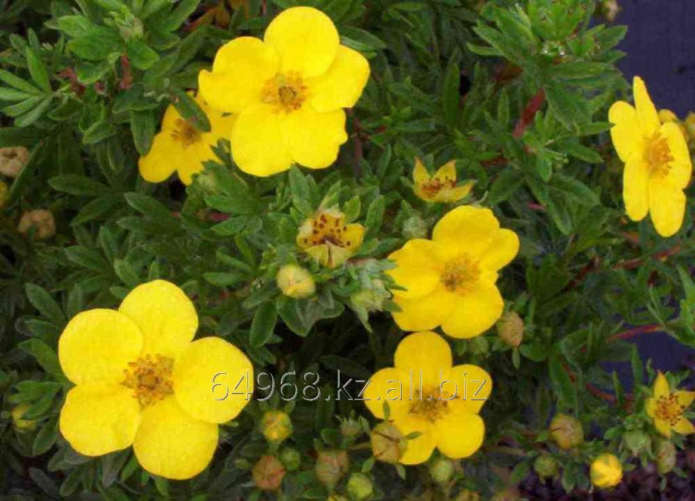 Купить Лапчатка кустарниковая Potentilla f. Goldfinger, h см 25-30