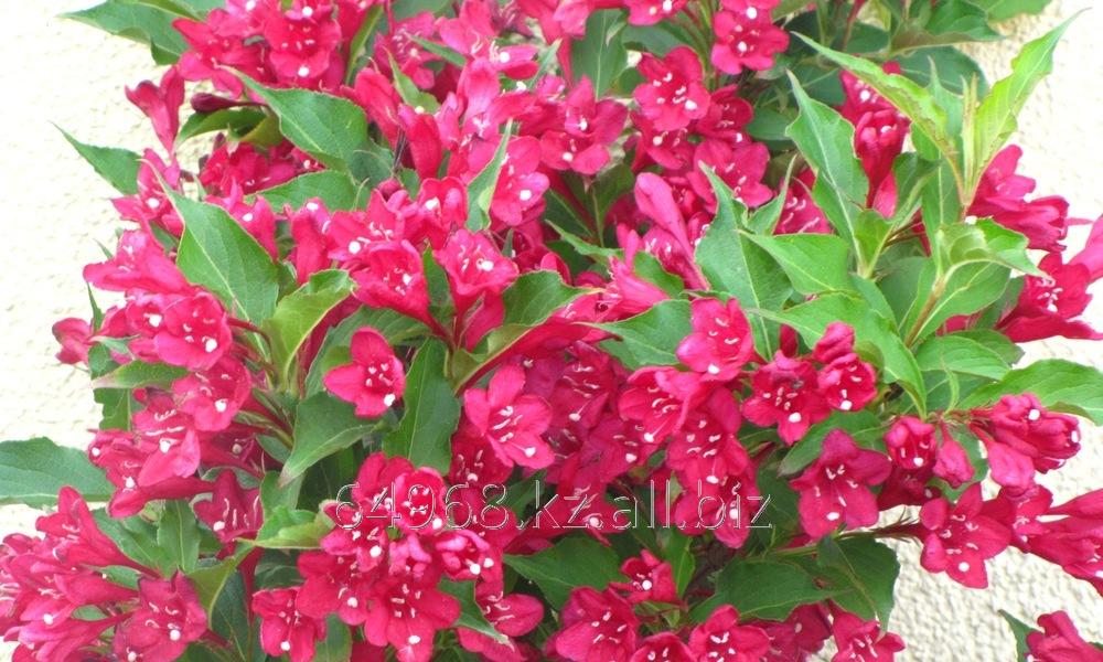 Купить Вейгела Weigela Florida red Prince, h см 40-60