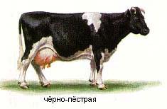 Купить Скот крупный рогатый, черно-пестрая порода