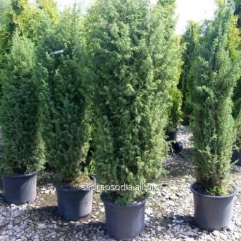 Купить Можжевельник Juniperus communis Meyer