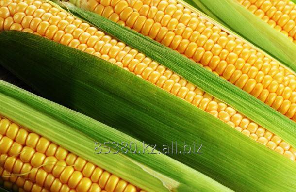 Кукуруза Экспорт от 500тн