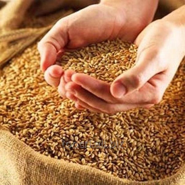 Купить Пшеница 3 класс, Пшеница посевная