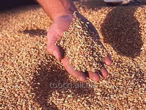 Купить Пшеница 4 класс