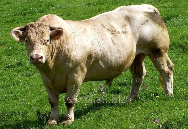Buy Seed of bulls of the meat direction to a sharola of breed of Tr Mr Fire Water 5792Re