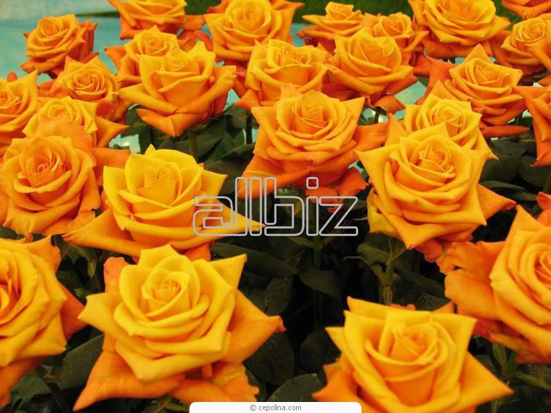 Срезанные цветы оптом в алматы, купить цветы в алматы недорого