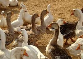 Купить Продукция птицеводства