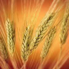 Купить Пшеница твердая