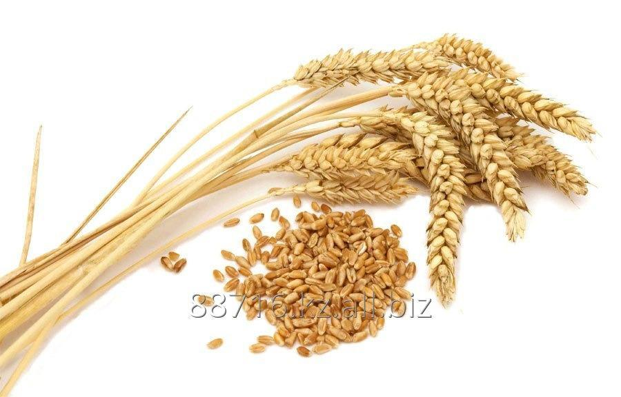 Пшеница, мягкая, 3,4,5, класс, фуражная, экспорт