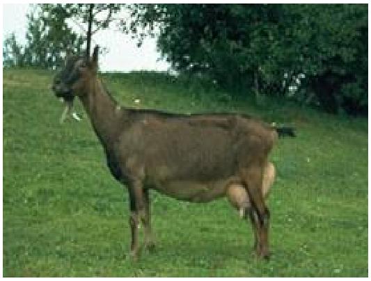 Купить Альпийская коза