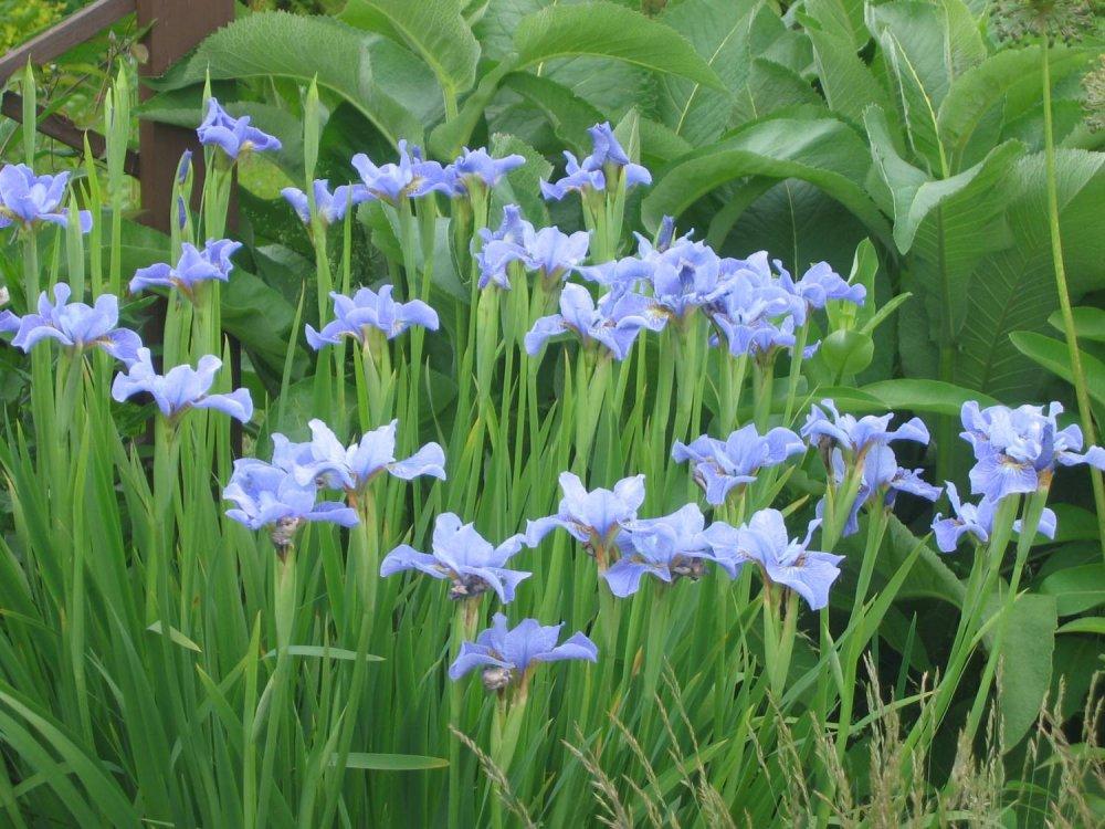 Buy Iris Siberian 'CAMBRIDGE'