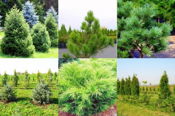 1500 00 kzt деревья хвойные саженцы