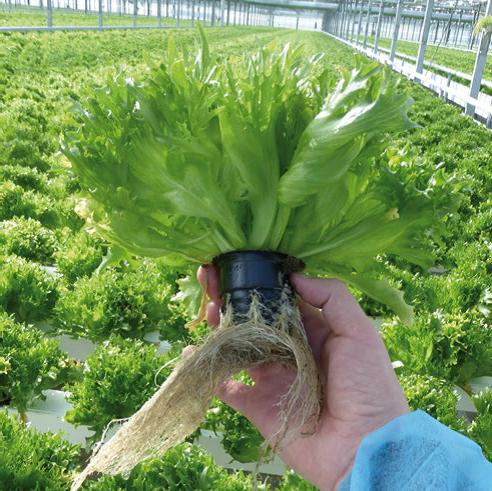 Купить Семена салата Фриллис F1
