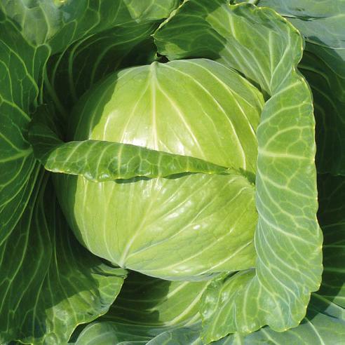 Купить Семена белокочанной капусты Чемп F1