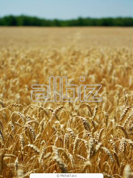 Купить Пшеница, Покупка пшеницы, Продажа пшеницы