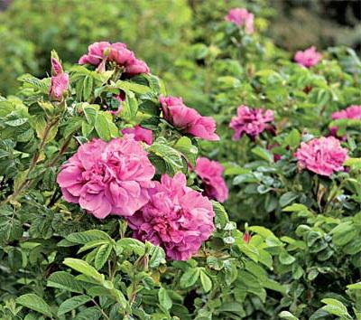 Купить Роза морщинистая, Саженцы роз купить в Казахстане