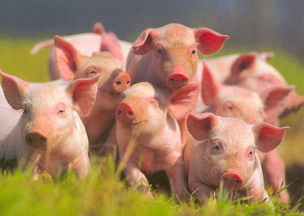 Купить Свиньи