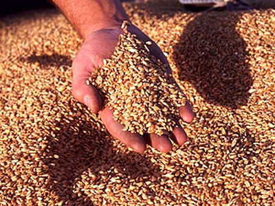 Buy Sale and purchase of wheat in Kazakhstan