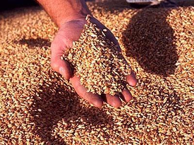 Продажа и закуп пшеницы в Казахстане