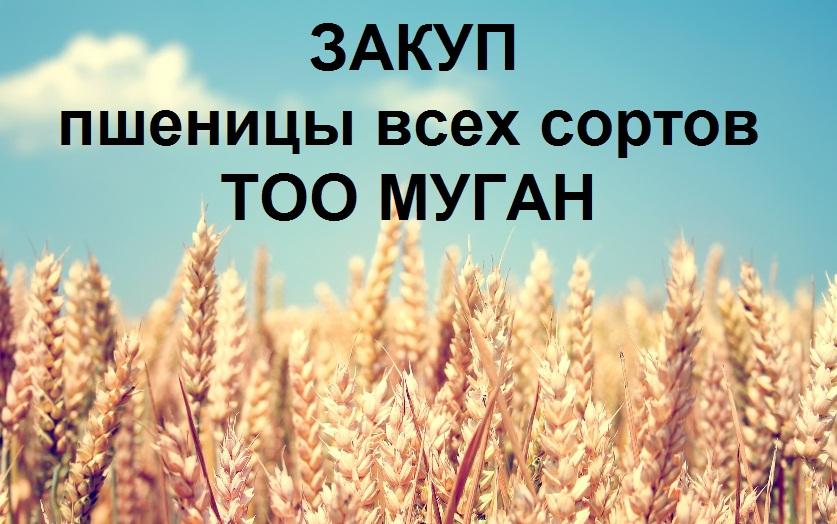 Купить Закуп пшеницы всех сортов