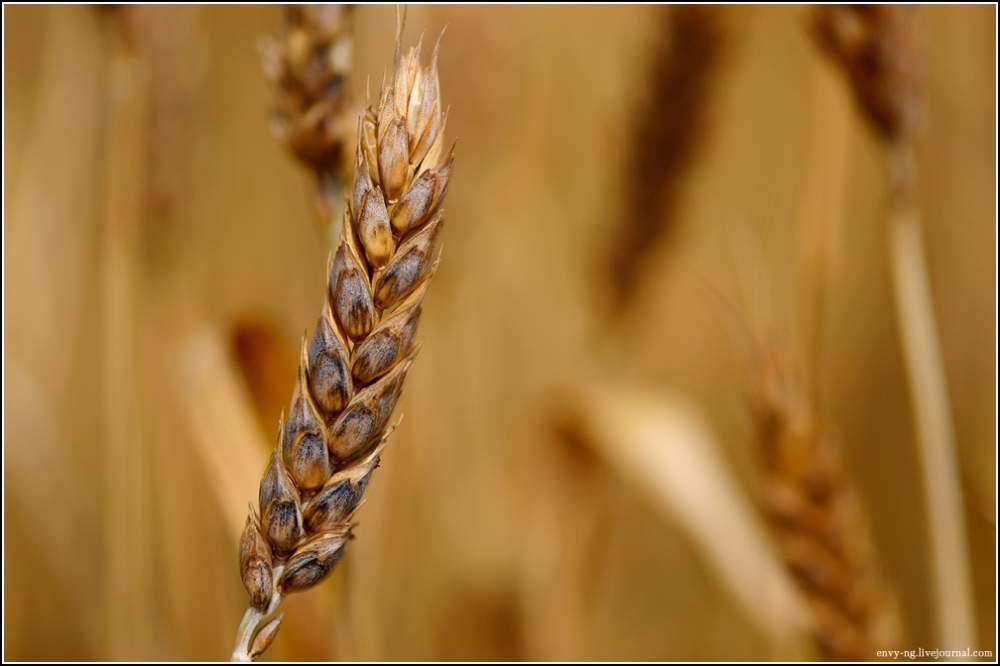 Купить Пшеница мягкая озимая