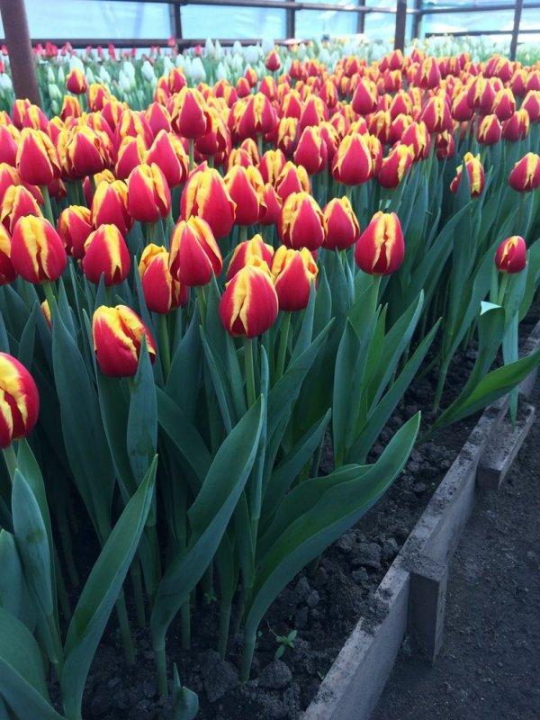 El tulipán Denmark