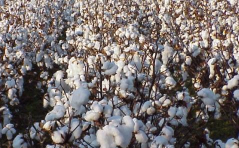 В Южном Казахстане собрано 32% урожая хлопка