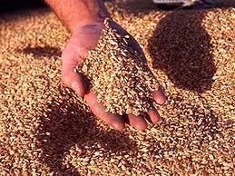 Купить Зерно фуражное в Костанае