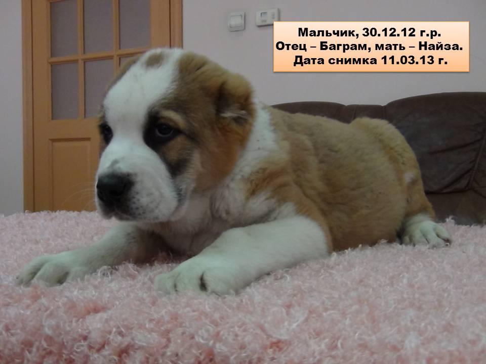 алабай фото цена щенка цена