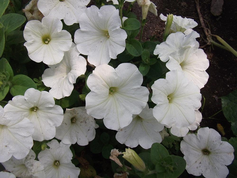 Купить Рассада однолетних цветов