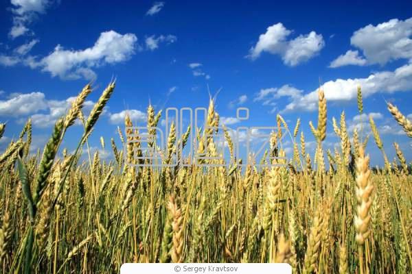 Купить Пшеница твердая озимая