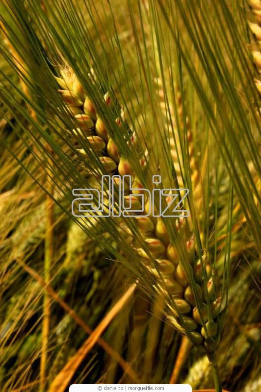Купить Пшеница мягкая