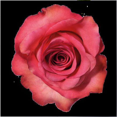 Что добавить в розы